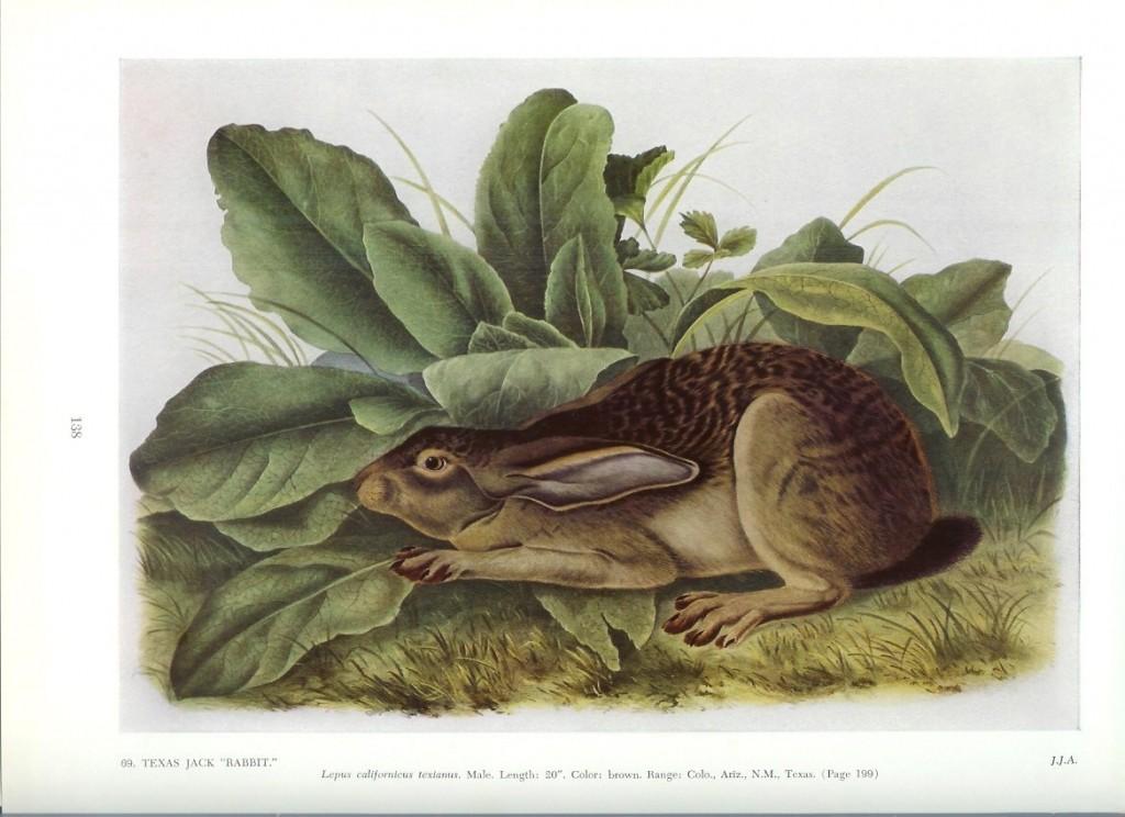 texas jack rabbit audubon